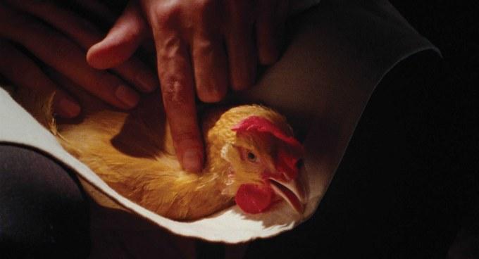 Chicken_Still_01-OK-RVB